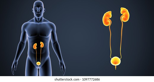 Urinary System zoom with Body Anterior view 3d illustration