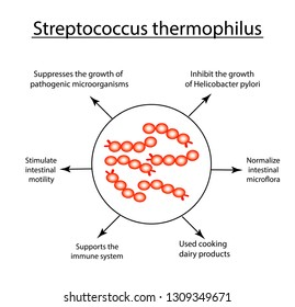 Useful properties Streptococcus thermophilus. Good intestinal microflora. probiotic, prebiotic. Infographics. illustration on isolated background.