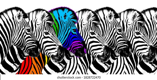 Usual & rainbow color zebra white background isolated, individuality concept, stand out from crowd, uniqueness symbol, independence, dissent, think different, creative idea, diversity, outstand, rebel