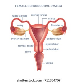 Uterus images stock photos vectors shutterstock uterus medical poster with female reproductive system scheme on white background flat illustration ccuart Images