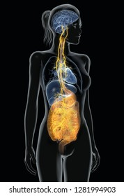 Vagus nerve with painful stomach and digestive system, 3D medica
