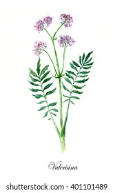 Valerian. Collection herb. Watercolor hand drawn illustration. Botanical illustration