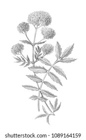 Valerian Pencil Drawing Isolated on White