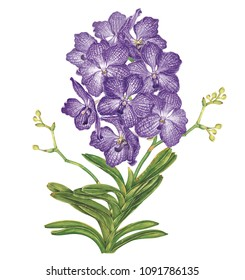 VANDA Orchid Hand drawn watercolor painting on white background.High resolution.. Clipping path included. Illustration for greeting cards, invitations, and other printing projects.