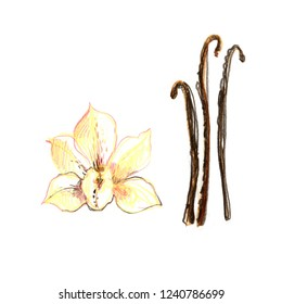 Vanilla with leaves on a branch. Sketch of spice with colored pencils on a white background.