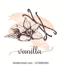 Vanilla sketch on watercolor paint. Hand drawn ink illustration of vanilla flower and stick. design for tags, cards, packaging, promo