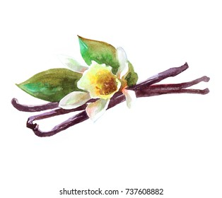 Vanilla sticks with a flower. Watercolor illustration isolated on white background