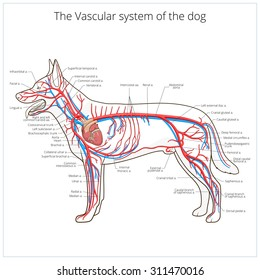 Vascular system of the dog raster version