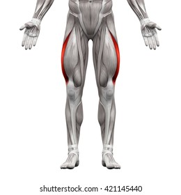 Vastus Lateralis - Anatomy Muscles isolated on white - 3D illustration