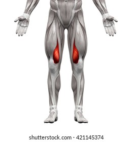 Vastus Medialis - Anatomy Muscles isolated on white - 3D illustration