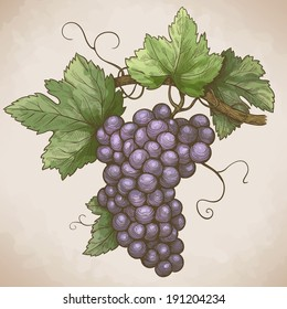 vector engraving illustration of grapes on the branch in retro style