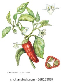 Vector hand drawn botanical illustration with the image of pepper plants on the white background