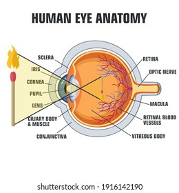 vector human eye structure. Education poster human eye anatomy how we see
