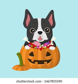 Vector Icon dog breed French Bulldog. Frenchie Puppy is sitting in a Halloween pumpkin with sweets candies and boneys.