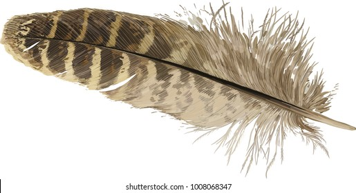 Vector illustration - beige pheasant feather isolated on white background