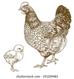 vector illustration of engraving chicken and chick on white background