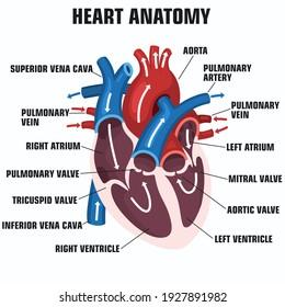 vector science Icon heart anatomy. Stock illustration education human heart structure