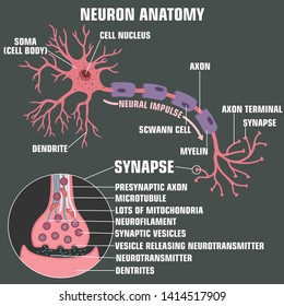 Vector scientific icon structure of neuron and synapse. Description of the anatomy of the neuron of the brain and synapse. Illustration of the structure of a neuron and synapse in a flat minimalism