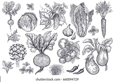 Vegetables, roots, salads and spices isolated on white background set. Black ink  hand drawing. Realistic illustration. Vintage engraving. Sketch of vegetarian food for kitchen and restaurant design.