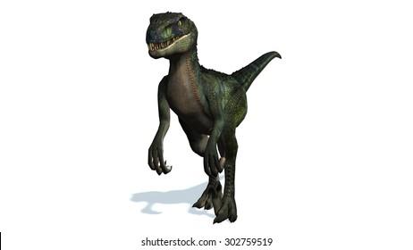 velociraptor dinosaur walks - isolated on white background