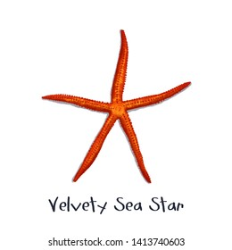 Velvety Sea Star realistic illustration
