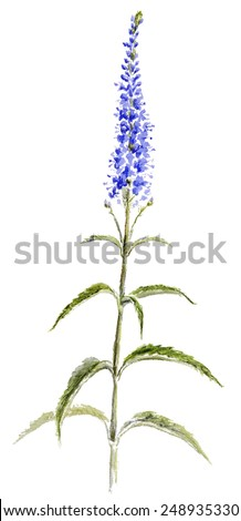 Royalty Free Stock Illustration Of Veronica Flower Isolated On White