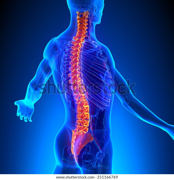 Vertebrae Anatomy with Ciculatory System