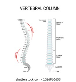Vertebral column: cervical, thoracic and lumbar spine, sacrum and coccyx. Kyphosis, and Lordosis. Numbering order of the vertebrae of the human spinal column. diagram for medical use