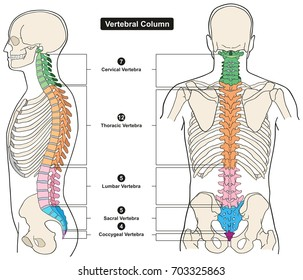 Vertebral Column of Human Body Anatomy infograpic diagram including all vertebra cervical thoracic lumbar sacral and coccygeal for medical science education and healthcare