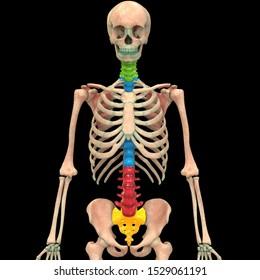 Vertebral Column of Human Skeleton System Anatomy Anterior View. 3D