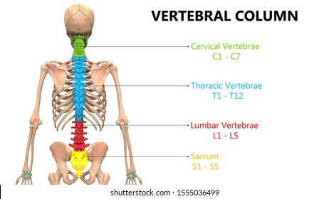 Vertebral Column of Human Skeleton System with Detailed Labels Anatomy Posterior View. 3D