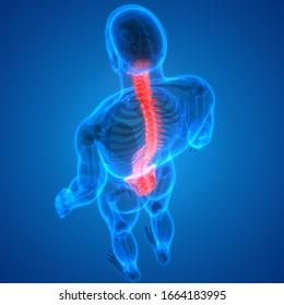 Vertebral Column of Human Skeleton System Anatomy. 3D