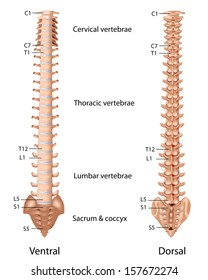 The vertebral column, labeled