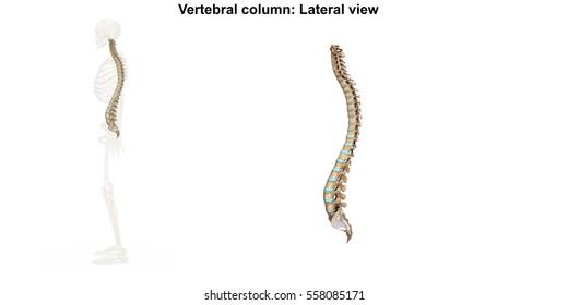 Vertebral column Lateral view 3d illustration