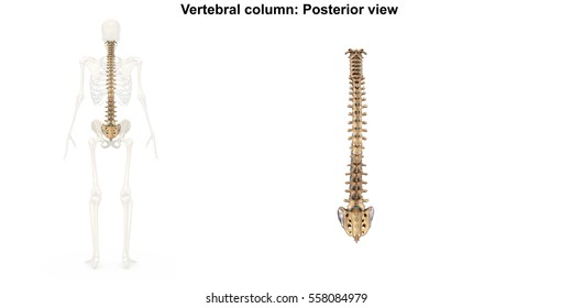 Vertebral column posterior view 3d illustration