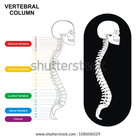 Vertebral Column Spine Diagram Including Vertebra Stock Illustration