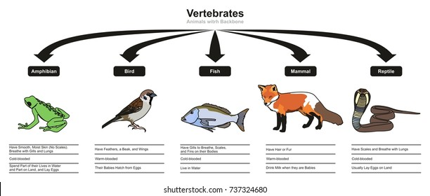 Vertebrates Animals Classifications and Characteristics infographic diagram showing all types including amphibian bird fish mammal and reptile animals for biology and morphology science education