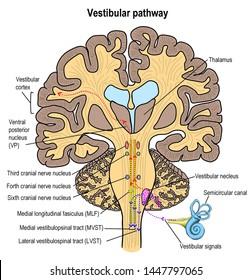 the vestibular organ make us balancing while doing activity and make corrected and balanced posturing. vertigo and sensation of imbalance are the problems caused by vestibular lesion and its pathway.