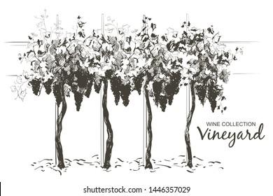 Vine plantation hills landscape. Drawing of rows of vineyards with wine stains. Grape vine Line sketch illustration