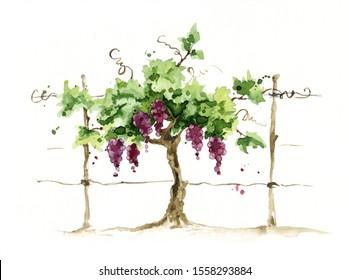 Vineyard / Grape on the trellis, watercolor illustration,