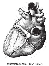 Vintage Anatomy Heart Engraving Illustration Black and White