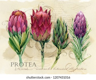 Vintage botanical poster. hand drawn watercolor floral art print with protea flowers. tropical nature illustration
