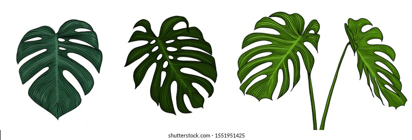 Vintage drawing sketch illustration of monstera leafs tropical plant
