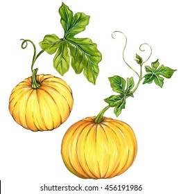 vintage style botanical illustrations of pumpkin, kurbis, squash with beautiful leaves. halloween decorations. isolated on white.
