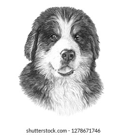 Vintage style sketch of Bernese Mountain Dog isolated on white background. Realistic black and white drawing of a Cute puppy. Animal collection: Dogs. Hand Painted Illustration of Pet. Design template