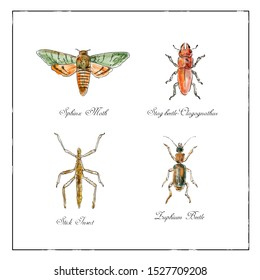 Vintage Victorian drawing illustration of a collection of insects like the Sphinx Moth, Stag beetle, Stick Insect and Zuphium Beetle in full color on isolated white background.