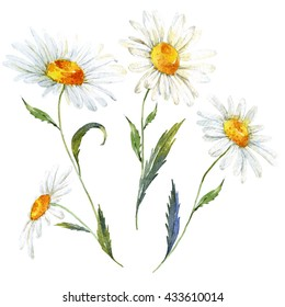 Vintage watercolor illustration of a daisy flowers, isolated elements