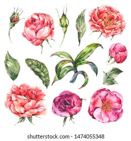 Vintage Watercolor Set of Pink Blooming Flowers. Roses and Peonies, Leaves and Buds. Natural botanical design collection isolated on white background.
