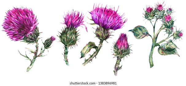 Vintage watercolor set of thistle, wild flowers, meadow herbs, leaves branches, watercolor botanical illustration isolated on white background