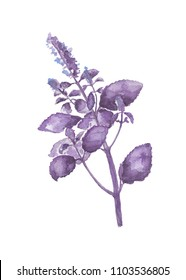 Violet basil plant with leaves. Lavender violet flower with leaf. Herb hand-painted botanical illustration. Watercolor flower plant painting on white background. Purple basil aromatic herb for cooking